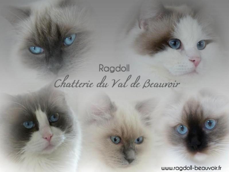 Accueil Chatterie Ragdolls Du Val De Beauvoir