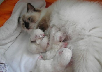 Holly et ses chatons - 08.08.2015 - Chatterie Ragdolls du Val de Beauvoir