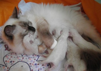 Holly et ses chatons : 08.08.2015 - Chatterie Ragdolls du Val de Beauvoir