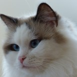 Ginger - Chatterie Ragdolls du Val de Beauvoir