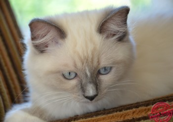 chatyon ragdoll blue point-mitted - Chatterie Ragdolls du Val de Beauvoir