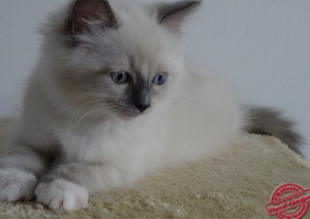 chaton femelle blue point-mitted - 8 semaines - Chatterie Ragdolls du Val de Beauvoir