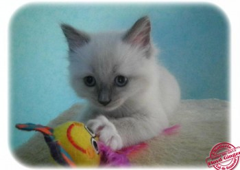 chaton femelle blue point-mitted - RESERVEE - Chatterie Ragdolls du Val de Beauvoir