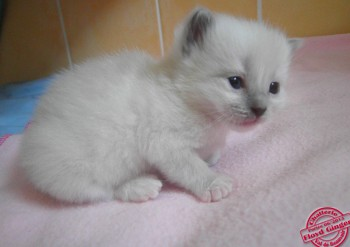 femelle blue point-mitted - 19 jours - Chatterie Ragdolls du Val de Beauvoir