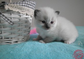 femelle seal point-mitted - RESERVEE - 20 jours - Chatterie Ragdolls du Val de Beauvoir