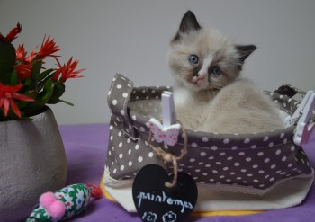chaton mâle seal-mitted