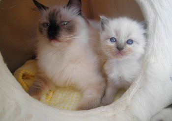 Holly et sa fille : blue colourpoint : 3 semaines - Chatterie Ragdolls du Val de Beauvoir