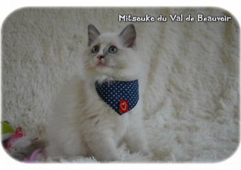 femelle blue point-mitted