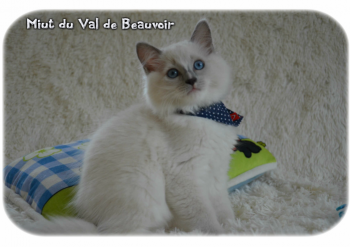mâle blue point-mitted