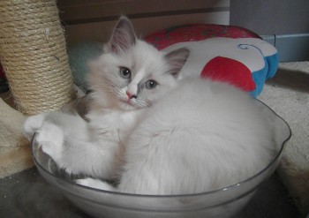femelle blue-mitted