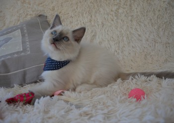 mâle blue point-mitted - Chatterie Ragdolls du Val de Beauvoir