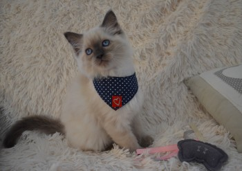 femelle blue colourpoint - Chatterie Ragdolls du Val de Beauvoir