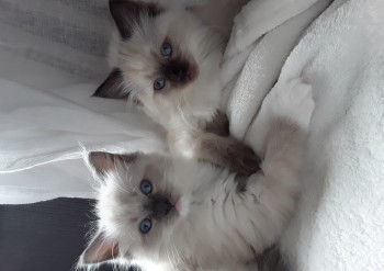 femelles blue mitted et seal colourpoint - Chatterie Ragdolls du Val de Beauvoir